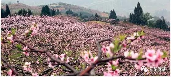 江华1700多亩桃花绚丽成海