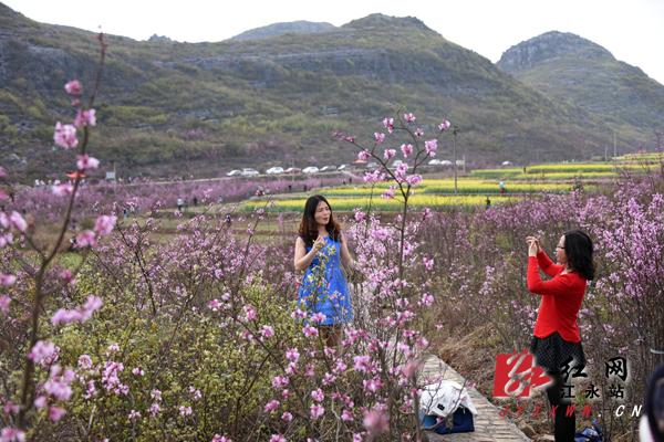 抢鲜看:江华千亩紫荆花开惹醉游人