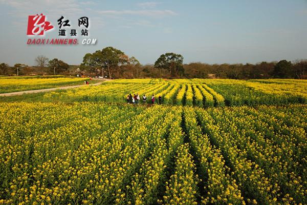 道县两河口千亩油菜花盛开(组图)