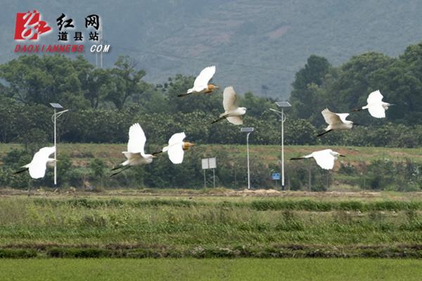 道县:自然和谐生态美 楼田村前白鹭飞