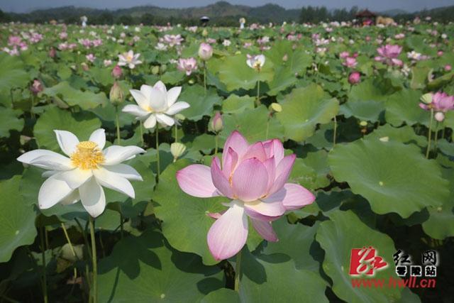 珠山第二届荷花节开幕 万人赏花盛况空前