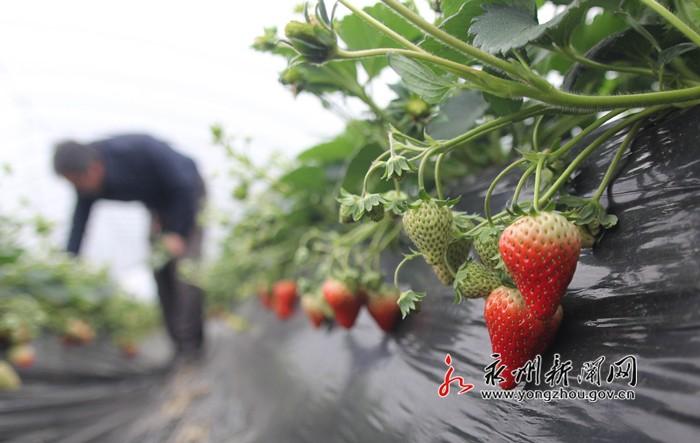 喜讯!道县冬季草莓即将进入采摘季