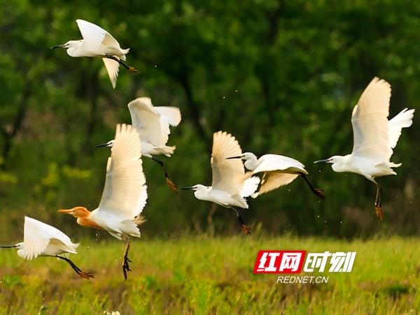 图游永州:东安白鹭蹁跹入画来
