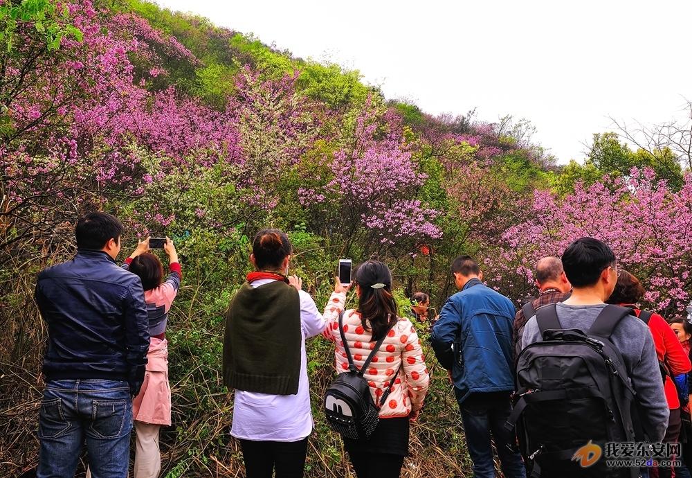 图游永州:横塘十里紫荆嫣红似海