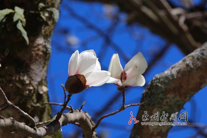 阳明山百年玉兰迎春绽放 一树繁花