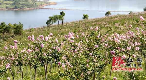 新田龙家大院紫薇公园鲜花盛开