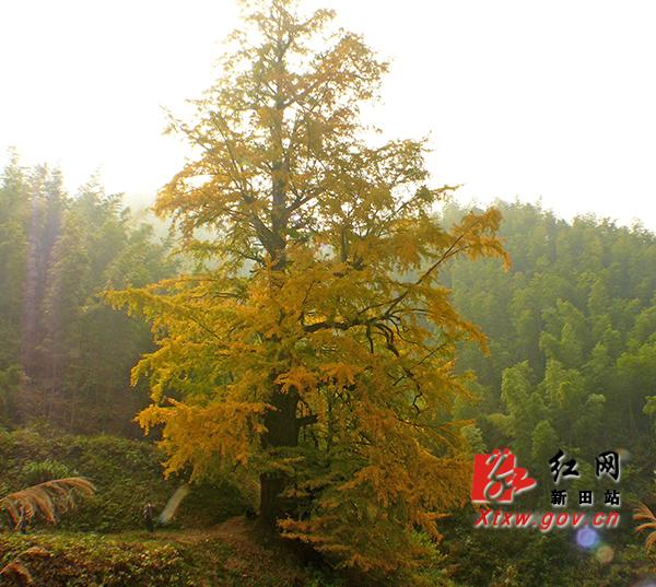 新田1500年银杏选为湖南最美古树