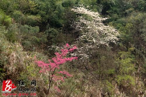 双牌茶林镇千亩山樱花盛情绽放