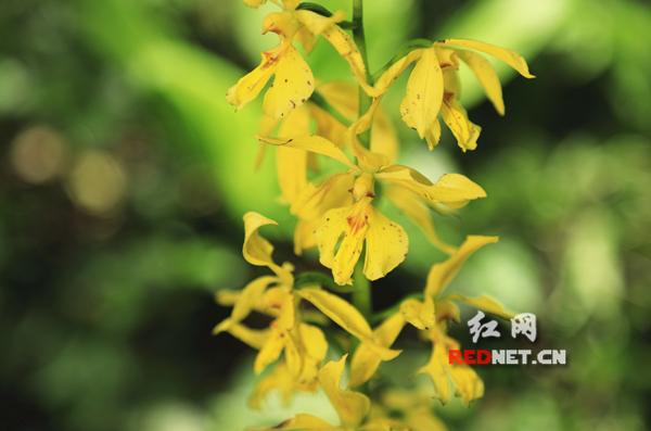 永州首次发现野生大黄花虾脊兰