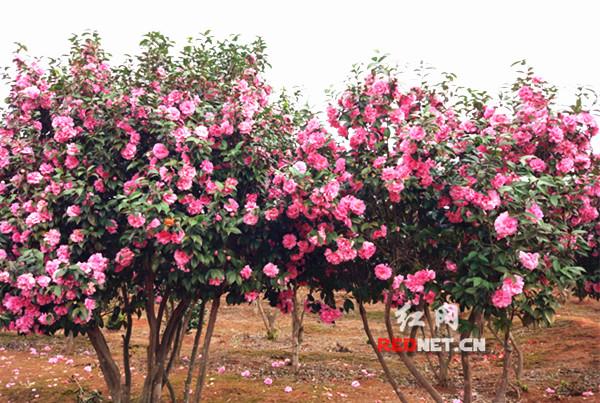 永州林科所数百品种茶花怒放