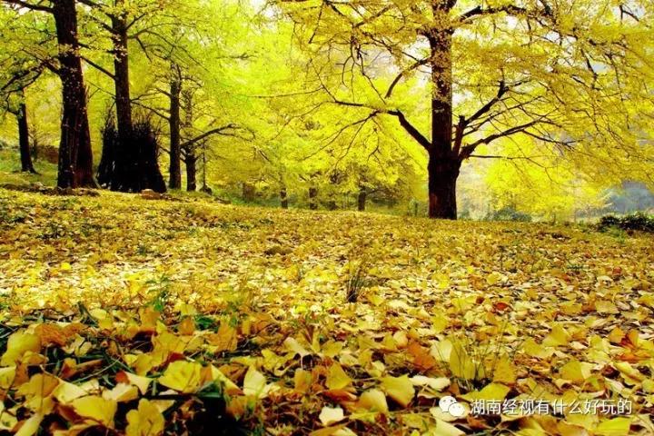 银杏第一村 刷新大永州秋天的颜值